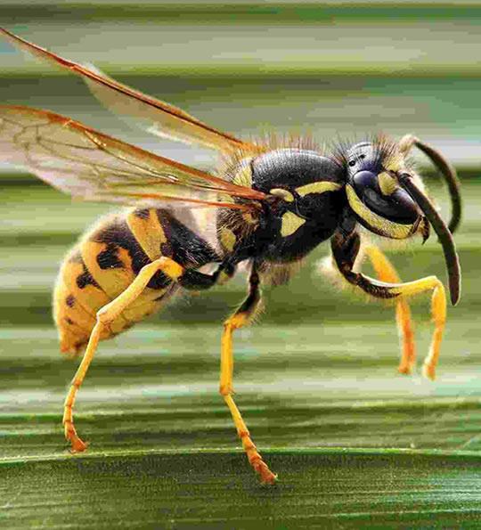 anmti vespe e calabroni per giardino
